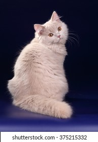 Beautiful fluffy cat on a blue background