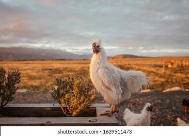 Beautiful fluffy chicken on the farm