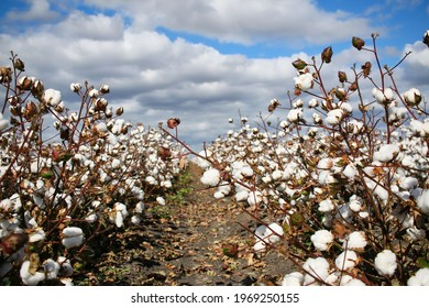 Beautiful fluffy cottons in a cotton field, Queensland, Australia.