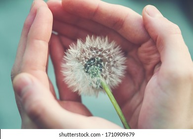 beautiful fluffy dandelion flower in girl's hands, care, protection, wishes and dreams concept, spiritual soul
