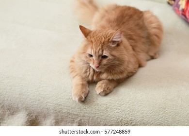 Beautiful fluffy ginger cat lying on the sofa
