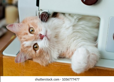 a beautiful, fluffy red cat, plays and shameless with household appliances. Tools for sewing.