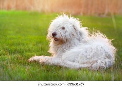 Beautiful fluffy south russian shepherd dog laying on green grass at sunset