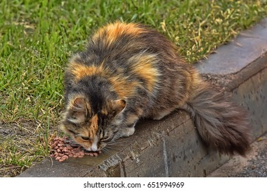 Beautiful fluffy tricolor stray cat eats on the street.