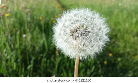 beautiful fluffy white coltsfoot flower blooming in summer pasture closeup