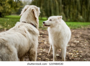 Beautiful, fluffy white Samoyed dog sticks tongue out at Golden Retriever dog while playing near a grassy field.