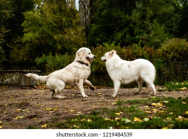 Beautiful, fluffy white Samoyed dog, and Golden Retriever, stand on a dirt patch in a grassy field by a large pond. The two dogs look happy and excited, ready to play with each other.