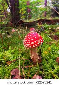 Beautiful fly agaric mushroom