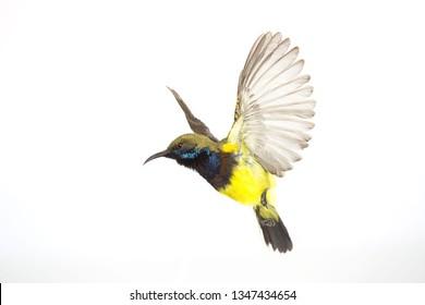 Beautiful flying Bird (Olive-backed Sunbird) isolate on White Background.