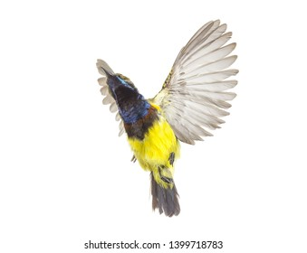 Beautiful flying Bird (Olive-backed Sunbird) isolate on White Background. High-resolution flying bird images