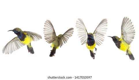 Beautiful flying Bird (Olive-backed Sunbird) isolate on White Background. The Collection flying Bird ,High-resolution bird images
