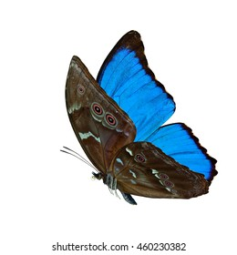 Beautiful flying blue butterfly, the Blue Morpho isolated on white background, amazing nature