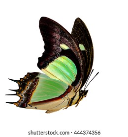 Beautiful flying Common Nawab butterfly (polyura jalysus) with curve double green wings isolated on white background, exotic nature