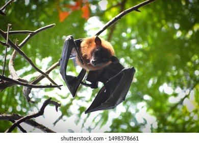 beautiful flying foxes fruit bat Pteropus hanging down on tree branch