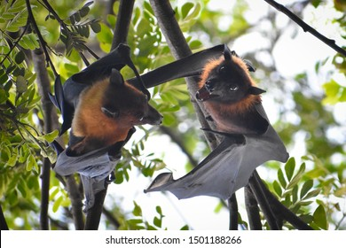beautiful flying foxes fruit bat Pteropus hanging down on tree branch mate each other couple