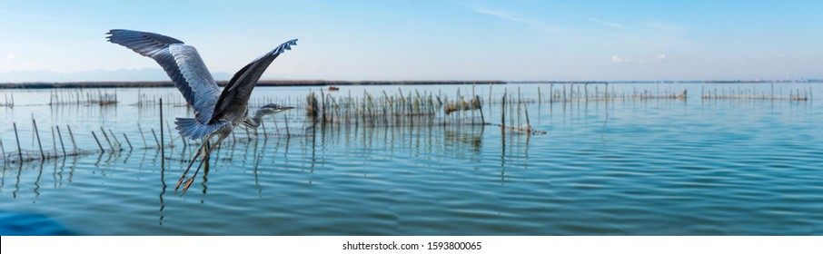 Schöner fliegender grauer Held am Himmel im Albufera Nationalpark valencia spain