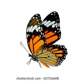 Beautiful flying orange butterfly, Common Tiger or Stripe Tiger butterfly (Danaus genutia) isolated on white background
