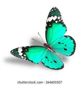 Beautiful flying pale green butterfly, Plain Tiger in fancy color profile with fully stretch wings on white background