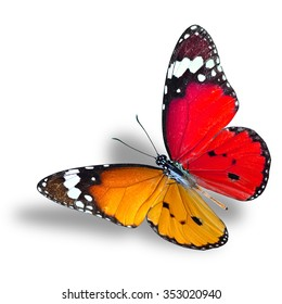 Beautiful flying red and orange butterfly, Plain Tiger with fully stretch wings on white background, orange butterfly