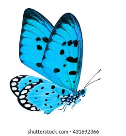 Beautiful Flying Turquoise Blue Butterfly, Tawny Coster (Acraea terpsicore) in fancy color profile with huge double wings isolated on white background