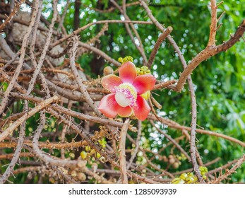 Beautiful focus cannonball flower of cannonball tree in the park