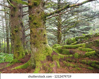 Beautiful Focus Stacked Image of Moss Covered Spruce Trees Found in Kodiak, Alaska