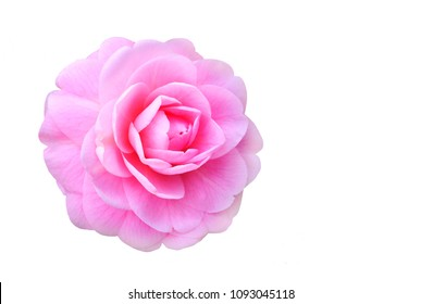 Beautiful Focus Stacked Image of a Pink Camellia Isolated on White
