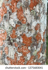 Beautiful foliose lichen, complex organism, growth on the bark of the durian tree. They are useful indicator of atmospherric pollution level
