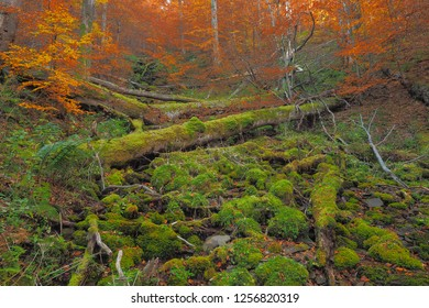 Beautiful forest in autumn colors. Hulski stream. Bieszczady Mountains. Bieszczady National Park.
