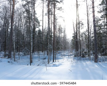 A beautiful forest with bare trees in winter and sunlight shining through trees, Russia.