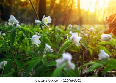 Beautiful forest landscape with snowdrop flowers. Sunset in springtime.