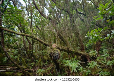 Beautiful forest on a rainy day. Hiking trail. Anaga Village Park - Ancient Forest in Tenerife, Canary Islands.
