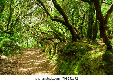 Beautiful forest on a sunny day. Hiking trail. Anaga Rural Park - ancient forest on Tenerife, Canary Islands