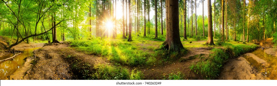 Beautiful forest panorama with big trees and bright sun