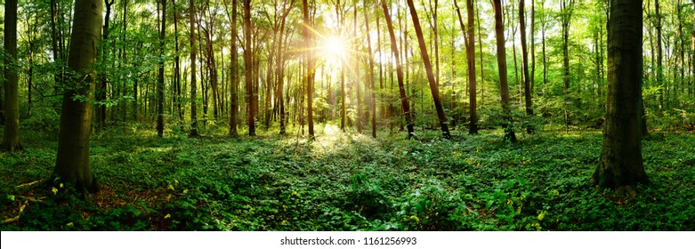 Beautiful forest panorama in Summer with bright sun shining through the trees