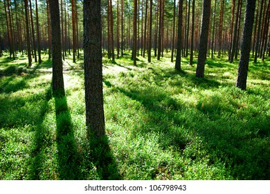 Beautiful forest of pine trees with shadows in evening light