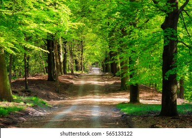 Beautiful forest road in spring with fresh green leafs near Loenen (Veluwe) in the Netherlands