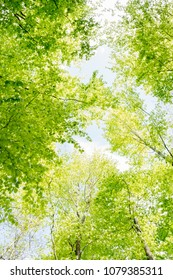 Beautiful forest scene, bottom view of tall trees in national park with brown black branch and new green yellow leaves sprout out or blossom in spring season, with blue sky and white clouds background
