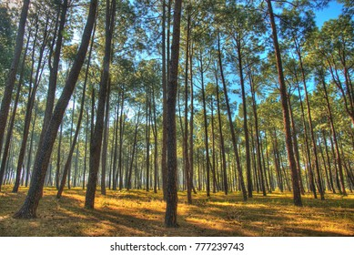 Beautiful forest of tall pine trees at Netarhat, Jharkhand, India.