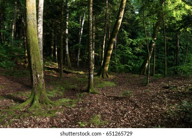 Beautiful forest with tall trees in daylight
