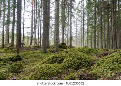 Beautiful forest view from a mossy coniferous woodland