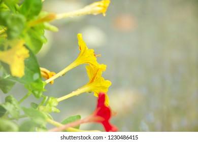 Beautiful Four-o'clocks flower, Marvel of Peru ,Mirabilis jalapa,Soft and blur focus
