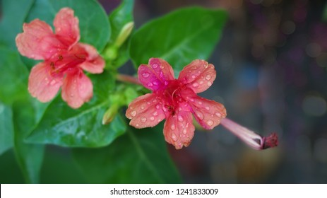 Beautiful Four-o'clocks flower, Marvel of Peru ,Mirabilis jalapa
