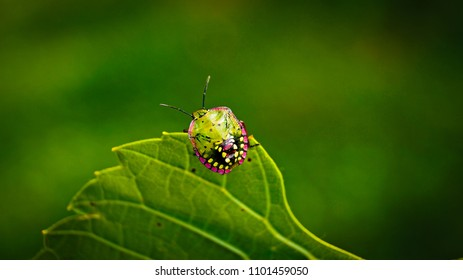 Beautiful fourth instar nymph of the southern green stink bug (Nezara viridula). This shield bug is in its 4th development stage. This stink bug is found at Tihany, Hungary