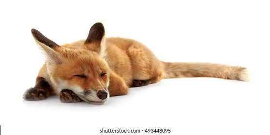 Beautiful fox cub lying isolated on white