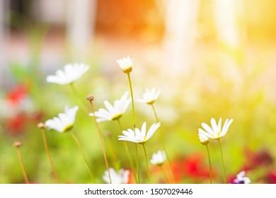 Beautiful fragrant chamomile flowers in sunlight on meadow in summer.