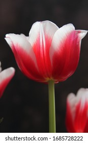 Beautiful fragrant red-white tulips, on a black background photo for text