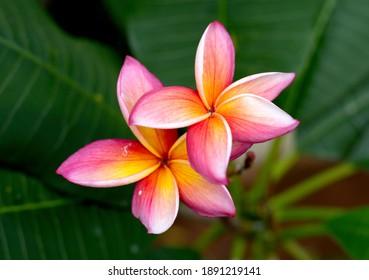 Beautiful Frangipani Flower - colorful close up frangipani