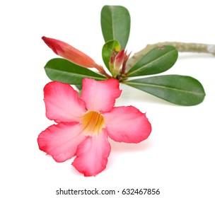 beautiful frangipani flower isolated on white background