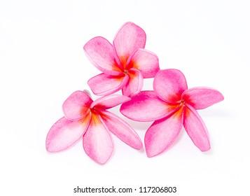 beautiful frangipani flowers isolated on the background white